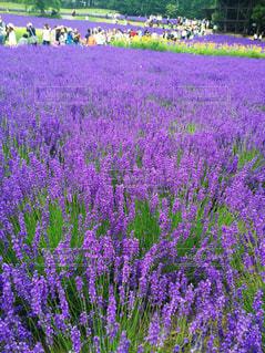 ラベンダー畑の写真・画像素材[3282314]