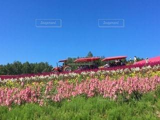 お花畑のトラクターの写真・画像素材[3371937]