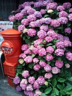 紫陽花の写真・画像素材[3375754]