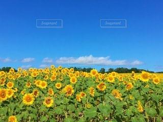 ひまわり畑の写真・画像素材[3493385]