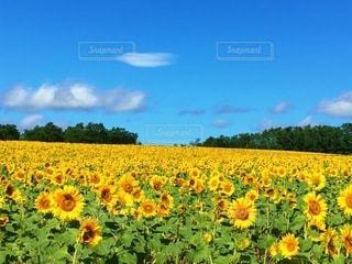 ひまわり畑の写真・画像素材[3493463]