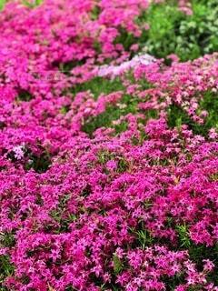 芝桜の写真・画像素材[3571239]