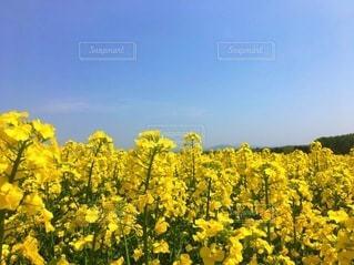 菜の花畑の写真・画像素材[3571238]
