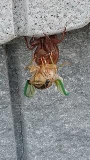 昆虫,生命,セミ,新しい,孵化