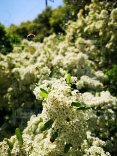 花,屋外,白い花,草木,小さい花,もっさり,花の集合体