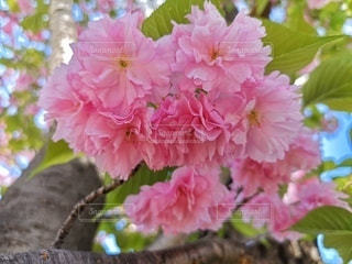花,花びら,鮮やか,八重桜,草木,ブロッサム,かたまり,ボンボン桜