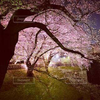 花,桜,夜桜,樹木,草木