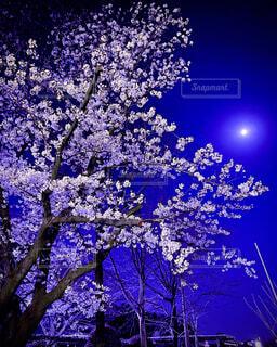桜,夜桜,樹木,草木,月光