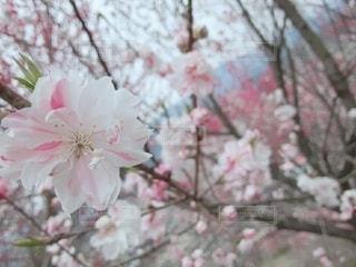 花,春,ピンク,白,花桃,4月