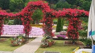 花,屋外,バラ,ガーデン