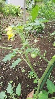 トマト,野菜,家庭菜園