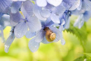 紫陽花との写真・画像素材[3378331]