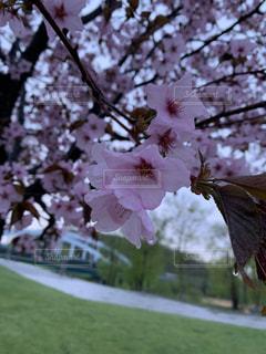 花,春,桜,芝生,屋外,花見,景色,草,樹木,のんびり,草木,桜の花,さくら,フォトジェニック,ブロッサム,インスタ映え