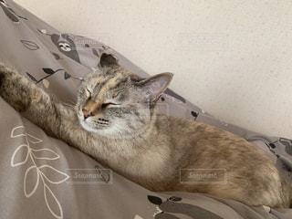 猫,動物,屋内,かわいい,家,ふわふわ,寝る,子猫,癒し,布団,睡眠,お昼寝,のんびり,保護猫,ネコ科の動物,ステイホーム