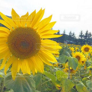 女性,花,夏,花畑,屋外,緑,ひまわり,黄色,外,グリーン,ひまわり畑,草木,きいろ,フォトジェニック,豊か,インスタ映え