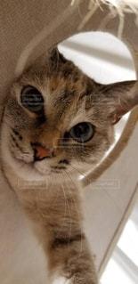 猫,動物,屋内,白,かわいい,ふわふわ,ペット,子猫,白猫,目,見つめる,保護猫,おうち時間,ネコ科の動物
