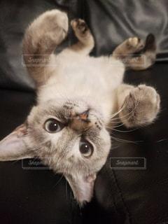 猫,動物,屋内,白,かわいい,ペット,子猫,白猫,癒し,見つめる,フォトジェニック,保護猫,おうち時間,ネコ科の動物