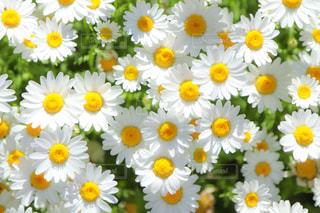花,鮮やか,flower,草木,ノースポール,配置