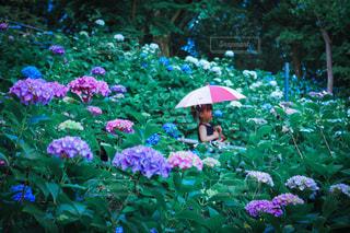 紫陽花の写真・画像素材[3378045]