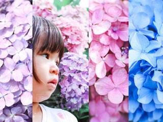 紫陽花のグラデーションの写真・画像素材[3378047]