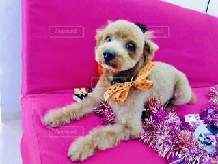 犬,動物,屋内,かわいい,茶色,ペット,リボン,散髪,お利口