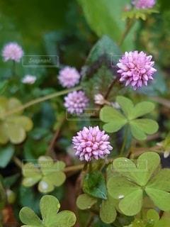 花,屋外,鮮やか,三つ葉,草木,ピンクの蓮華の花
