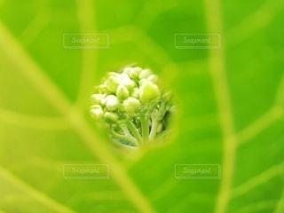 紫陽花の蕾の写真・画像素材[3205754]