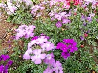 庭の紫色の花の写真・画像素材[3209676]