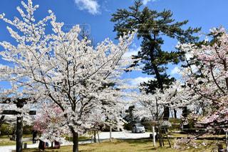 空,花,春,桜,青い空,樹木,さくら