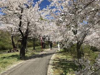 花,春,桜,ピンク,青い空,桜の花,さくら