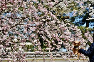 犬,花,春,桜,屋外,ピンク,景色,樹木,ペット,お花見,癒し,愛犬,景観,桜の花,日中,さくら,ブルーム,ブロッサム