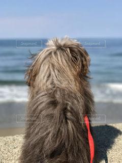犬,風景,海,空,屋外,ビーチ,砂浜,水面,海岸,景色,癒し,マイナスイオン,愛犬,見つめる,ミックス犬,ポメプー