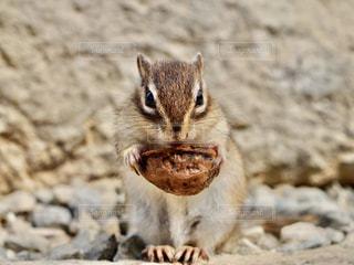 クルミを食べるシマリスの写真・画像素材[3213175]