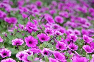 花,屋外,紫,景色,花びら
