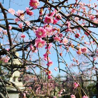 空,花,春,屋外,ピンク,樹木,カラー,梅の花