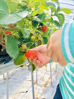 食べ物,屋外,緑,赤,子供,苺,果物,人,ベリー,いちご狩り,娘,草木,イチゴ,イチゴ狩り