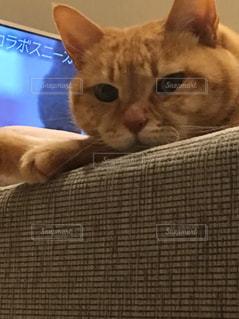 猫,動物,屋内,かわいい,顔のアップ