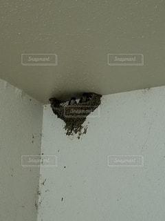 動物,屋外,ツバメ,巣