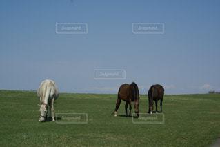 野原で放牧する茶色と白の馬の写真・画像素材[3214679]