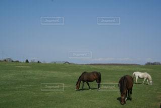 緑豊かな草原で草をついばむ馬の写真・画像素材[3214692]