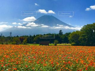 富士山と花畑の写真・画像素材[3259757]