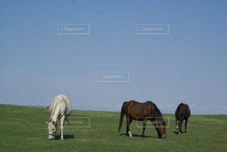 緑豊かな畑で放牧する馬の写真・画像素材[3259755]