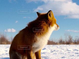 雪の中に立っているキタキツネの写真・画像素材[3259761]