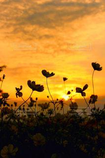 夕焼けとコスモスの写真・画像素材[3203486]