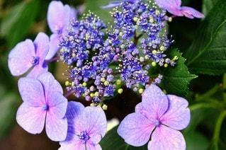 花,屋外,紫,鮮やか,紫陽花