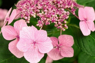 風景,花,屋外,ピンク,鮮やか,紫陽花