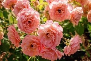 風景,花,ピンク,バラ,鮮やか