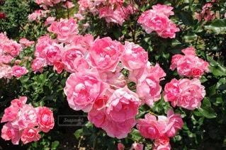 風景,花,ピンク,バラ,鮮やか,ガーデン