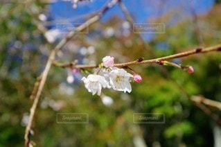 花,春,桜,屋外,樹木