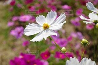 花,コスモス,景色,花びら,草木